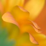 Nancy-Myer-Sidelong-Impression-of-a-Gerbera-Daisy150x150